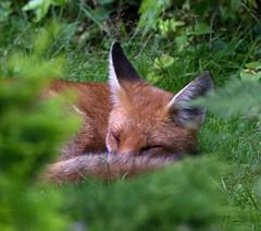 Hidden Sleeping Fox