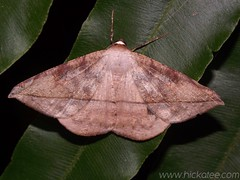 Geometer Moth - Oxydia vesulia - Family Geometridae
