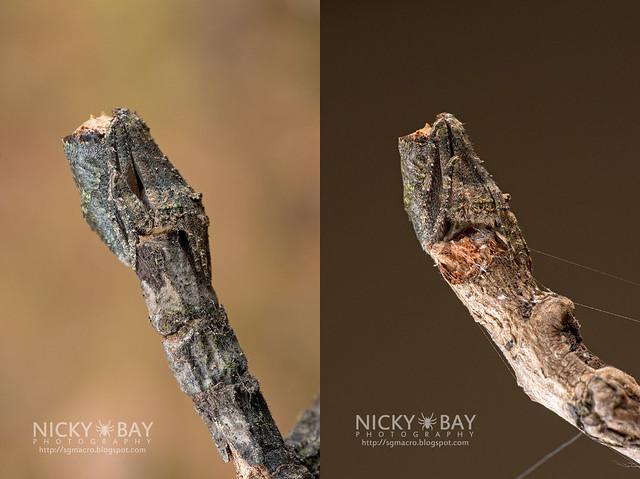 Tree Stump Orb Weaver (Cyphalonotus sp.) - DSC_6169_combined