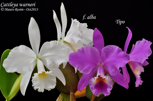 Cattleya warneri f. alba & tipo by Mauro Rosim