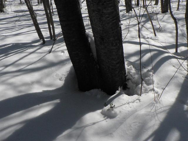 ウサギが飛びだしてきた木の根元.少し隙間があり,そこで休んでいたらしい.