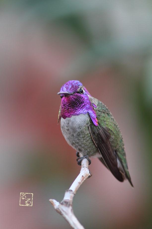 Costa's X Anna's Hybrid Hummingbird 111113-3