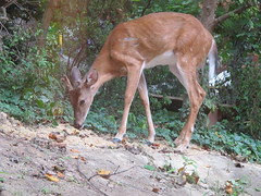 musk deer(0.0), impala(0.0), animal(1.0), deer(1.0), fauna(1.0), white-tailed deer(1.0), wildlife(1.0),