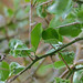 Small photo of Green Thorn (Balanites maughamii)