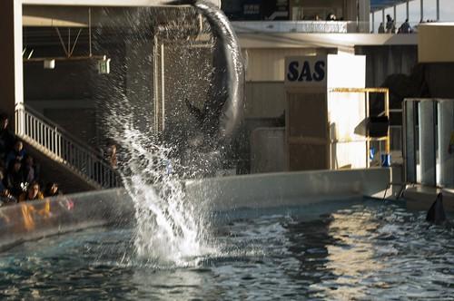 イルカ 縦回転ジャンプ