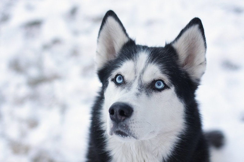 How can we thank and give back to the Chukchi People for giving us our beloved Siberian Husky breed? 11848111213_700b0165a7_c