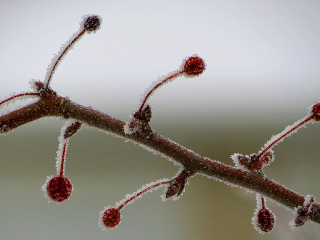 Tree Coated By Freezing Fog Ice Crystals