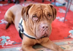 dog breed(1.0), animal(1.0), dog(1.0), dogue de bordeaux(1.0), pet(1.0), guard dog(1.0), carnivoran(1.0),