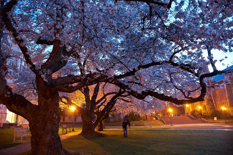 夜櫻 - 華盛頓大學