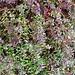 Small photo of Vaccinium macrocarpon (American cranberry)