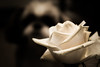 Lennon's White Rose by Shaun Groenesteyn