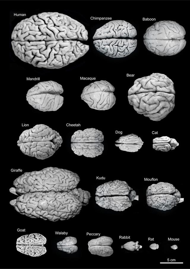 Fogonazos: Comparando nuestro cerebro con otras especies