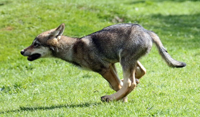 european wolf Hoenderdaell JN6A0288