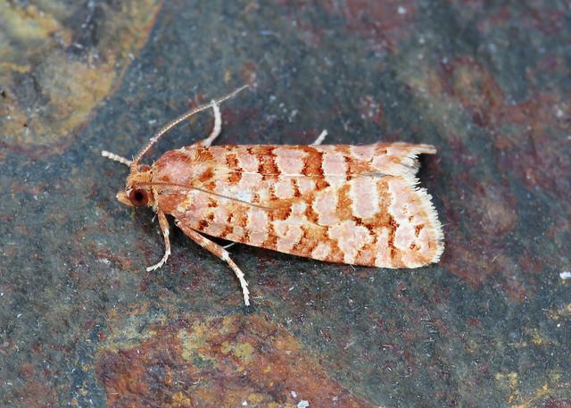 49.040 Orange Pine Twist - Lozotaeniodes formosana
