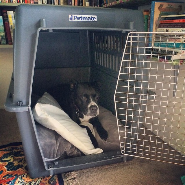Test riding her $14.99 crate.  #crates #dogs #pitbulls #pitbullterriers #bullydogs #thrifting #goodwill #animalconfinementdevice #wecallitacrate