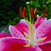 Small photo of Oriental lily 'After Eight'
