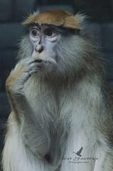 Singe patas / Patas monkey