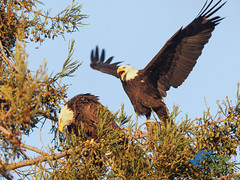 Bald eagle courtship