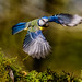 Blue Tit in Flight by angelalord52