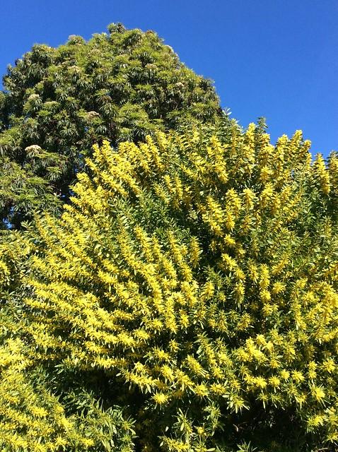 Header of Acacia longifolia