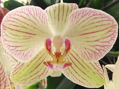 Yellow With Pink Stripe Orchid,