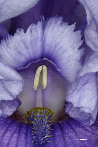 Two toned blue/purple bearded iris macro
