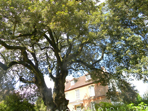 Magnificent Holm Oak