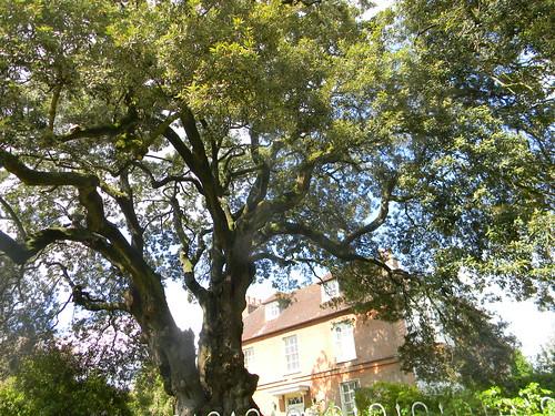 Magnificent Holm Oak