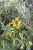 early season kowhai