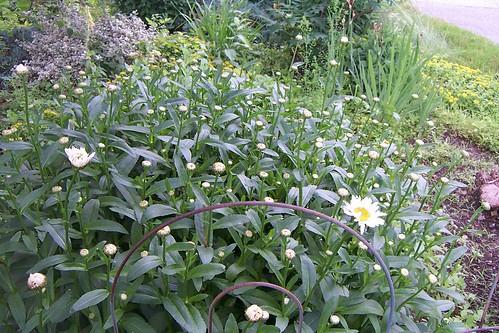 Garden 26 June 20130019