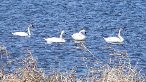 Tundra Swans at Goose Pond