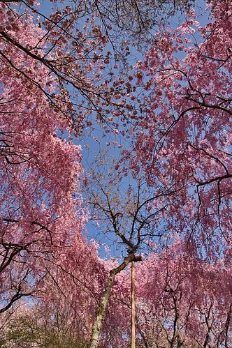 【写真】2013 桜 : 龍安寺/2020-01-22/IMGP9841