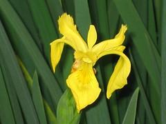 花菖蒲(玉蟬花) Iris ensata (Iris kaempferi) Yellow [香港公園 Hong Kong Park]