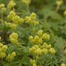 Small photo of Alpine Lady's Mantle