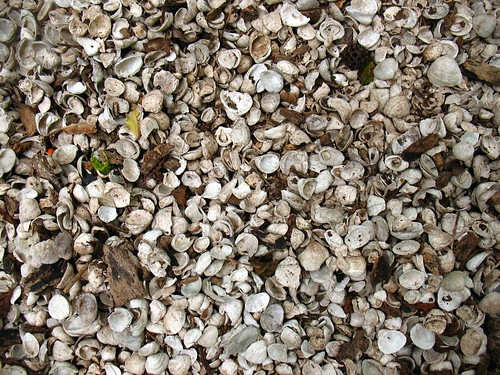 prehistoric midden of shells in the swamp