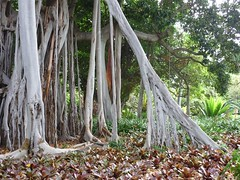 Ficus macrophylla, Moraceae