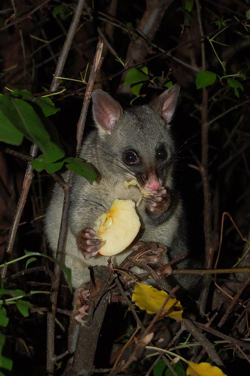 possums_10
