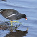 Common Moorhen, Gallinula chloropus at Rietvlei, just to complete the list