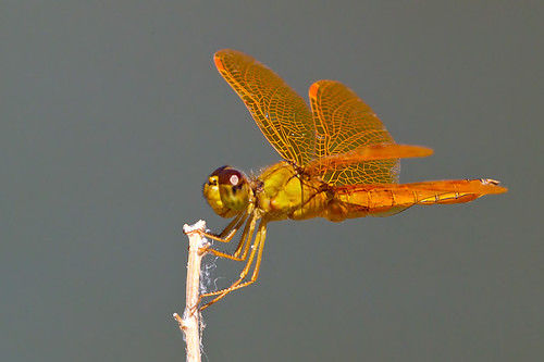 arizona tucson dragonflies insects damselflies