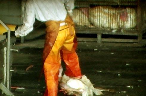 זוגלובק - פועל בועט בתרנגול שנפל מהכלוב
