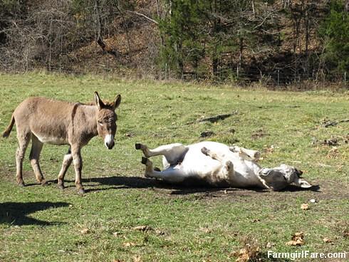 Rolling donkeys (3) - FarmgirlFare.com