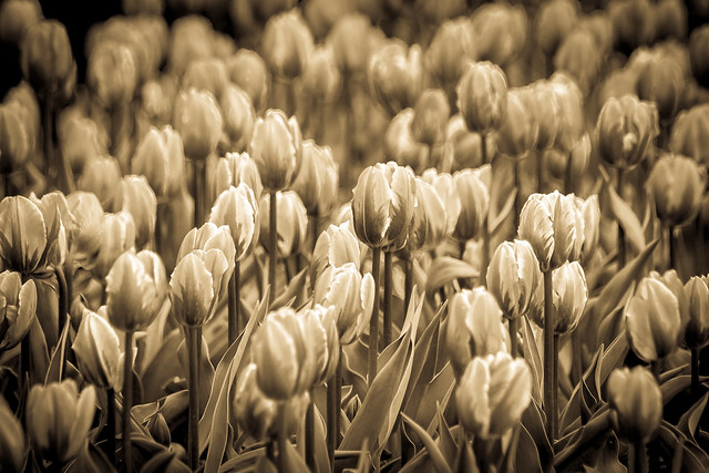Of Tulips Past