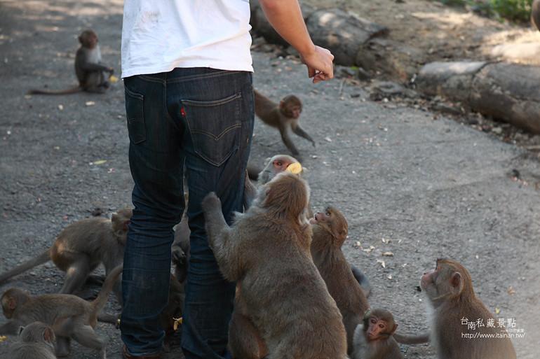 台南私藏景點-南化烏山獼猴 (9)