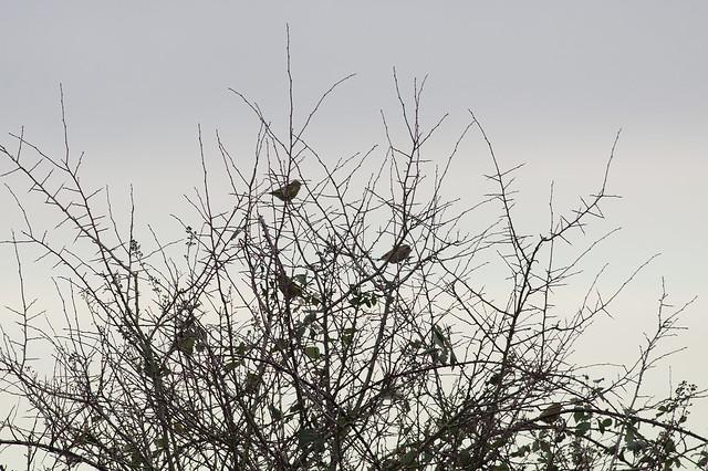 13: Greenfinch