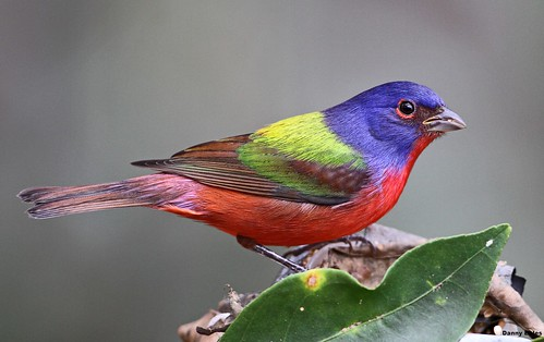 PAINTED BUNTING 1-8-14 5930
