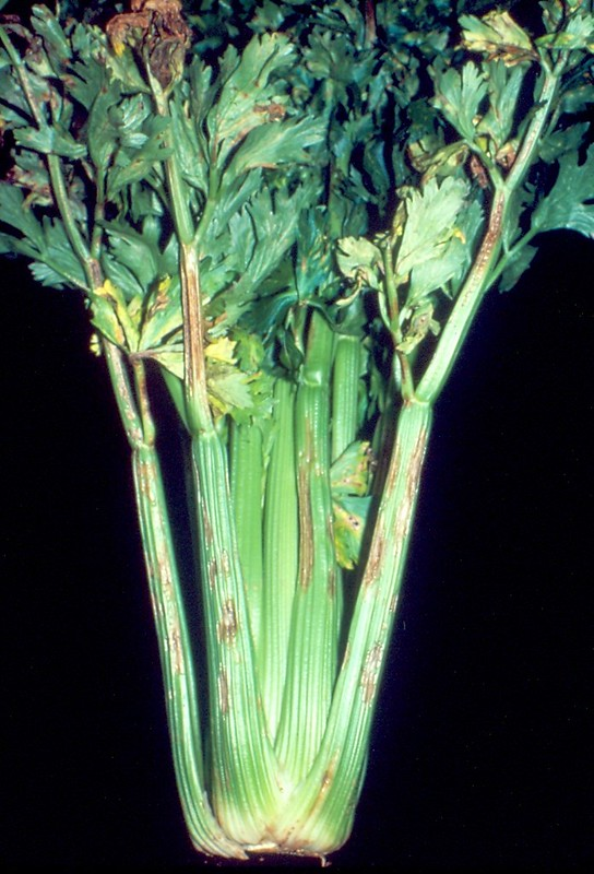 Celery: Septoria apii (late blight)