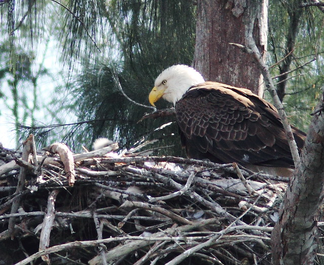 Bald Eagle eaglet with female 0203 PM 20140124