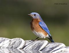 Eastern Bluebird IMG_4770edtsg
