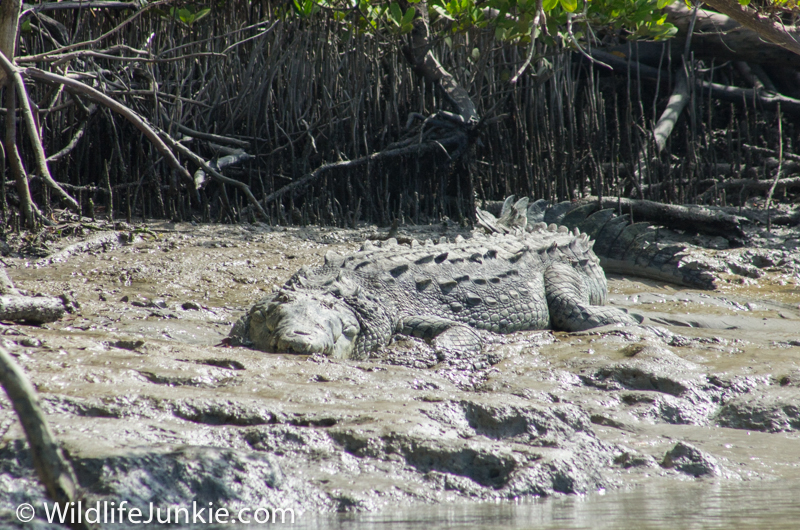 Florida Everglades American Crocodile