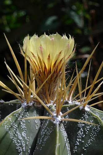 Astrophytum ornatum 2 by Céili & Bowery